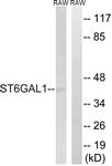 C15170-1 - CD75 / ST6GAL1
