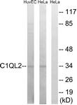 C15207-1 - C1QL2
