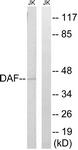 C15225-1 - CD55 / DAF