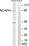 C15233-1 - NCAPH