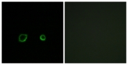 C15240-1 - Contactin-4