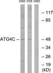 C15286-1 - APG4C / ATG4C