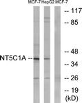 C15296-1 - NT5C1A