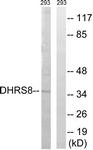 C15325-1 - 17-beta-HSD11 / HSD17B11