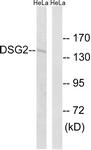 C15333-1 - Desmoglein-2