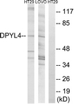 C15357-1 - DPYSL4 / CRMP3