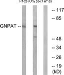 C15358-1 - GNPAT / DAPAT