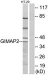 C16003-1 - GIMAP2 / IMAP2