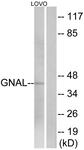 C16057-1 - G alpha protein olf