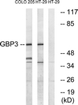 C16080-1 - GTP-binding protein 3 / GBP3