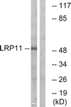 C16508-1 - LRP11