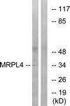 C16673-1 - MRPL4