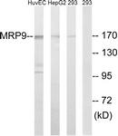 C16728-1 - ABCC12 / MRP9