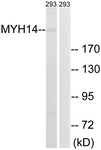 C16767-1 - Myosin-14 / MYH14