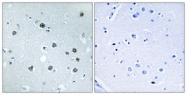 C16783-1 - Myosin-Id