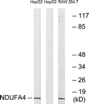 C16821-1 - NDUFA4