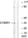 C16851-1 - CYB5R1