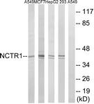 C16873-1 - CD335 / NKp46
