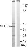 C17006-1 - Septin-3 (SEPT3)
