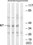 C17036-1 - Neurotrimin