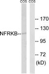 C17081-1 - NFRKB / INO80G