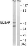 C17144-1 - NUSAP1 / ANKT
