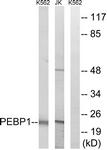 C17661-1 - PEBP1 / RKIP
