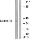 C17739-1 - SERPINA5