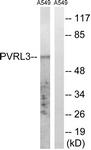 C17760-1 - CD113 / Nectin 3