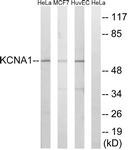 C17789-1 - KCNA1