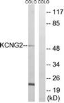 C17810-1 - KCNG2