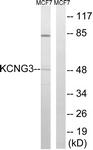 C17811-1 - KCNG3