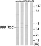 C18015-1 - PPP1R3C / PTG