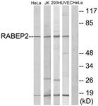 C18116-1 - RABEP2