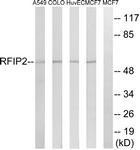 C18120-1 - RAB11FIP2