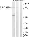 C18130-1 - Rabenosyn-5 / ZFYVE20