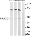 C18213-1 - RRAGC / Rag C