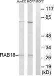 C18223-1 - RAB18