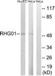 C18364-1 - ARHGAP1