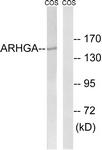 C18386-1 - ARHGEF10