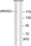 C18388-1 - ARHGEF12