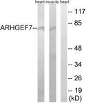 C18397-1 - ARHGEF7