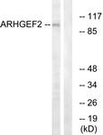 C18399-1 - ARHGEF2