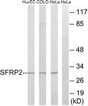 C18484-1 - SFRP2
