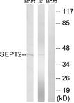 C18509-1 - Septin-2