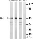 C18513-1 - Septin-7