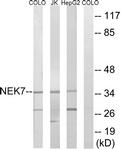 C18583-1 - NEK7
