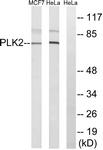C18597-1 - PLK2 / SNK