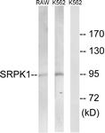 C18616-1 - SRPK1