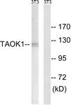 C18619-1 - TAO Kinase 1 (TAOK1)